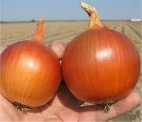 Насіння цибулі городнього (жовтого) Манас F1/Manas F1 (250 000 сем.), Bejo, Нідерланди (precision seeds)