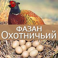 Инкубационные яйца охотничьего фазана
