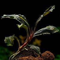 Буцефаландра / Bucephalandra sp. Medusa, отросток 5 листов.
