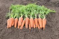 Насіння моркви Кесена F1/Cesena F1 (1,6-1,8 мм) ( 1 млн. сем.), Bejo, Нідерланди