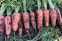 Семена моркови Курасао F1/Curacao F1 (2,0-2,2 мм) ( 1 млн. сем.), Bejo, Нидерланды