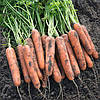 Семена моркови Натуна F1/Natuna F1 (1,6-1,8 мм) ( 1 млн. сем.), Bejo, Нидерланды