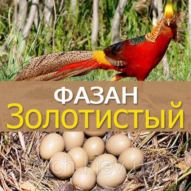 Инкубационные яйца золотистого фазана