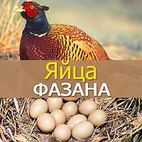 Инкубационные яйца фазанов
