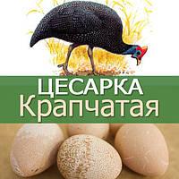 Инкубационные яйца цесарки Крапчатой (бройлерной)