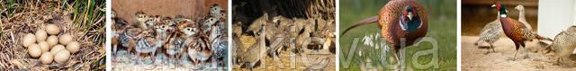 Инкубационные яйца фазана Охотничего