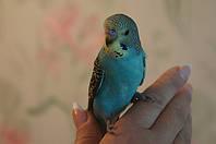 Хвилястий папуга - догляд, годування, приручення та ін.