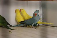 Ожереловый попугай - уход, кормление, приручение и пр.
