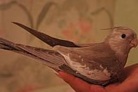 Попугай корелла - уход, кормление, приручение и пр.