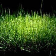 Рослини для газону