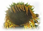 Семена подсолнечника - ЭС Белла