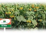 Семена подсолнечника - ЭС Биба