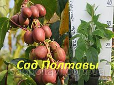 Саженцы актинидии Вейки 'Weiki' женская 2хлетние в конт.2л