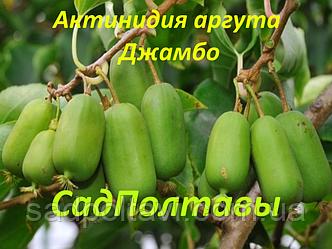 Саженцы актинидия аргута Джамбо 3хлетняя (женская) в 5л, фото 2