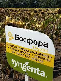 Босфора Сингента  семена подсолнечника
