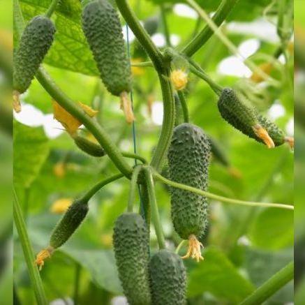Семена огурца Арктика F1 (500 сем.)
