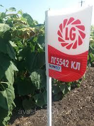 ЛГ5542 Лимагрейн (под Евролайтинг) семена подсолнечника