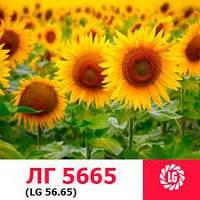 ЛГ 5665 Лимагрейн семена подсолнечника