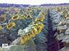 Пионер P62LL109 (П62ЛЛ109) семена подсолнечника, фото 2