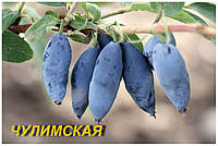 "Саженцы жимолости ""Чулымская"" (ЗКС) 3 г."