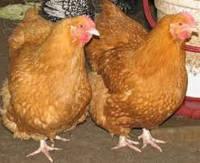 Суточные цыплята кур породы Фокси Чик