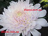 Хризантема велика МІЛКА БІЛА, фото 2