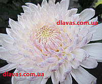 Хризантема крупная  МИЛКА БЕЛАЯ, фото 1