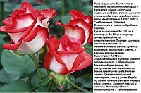 Роза Блуш чайно-гибридная