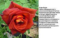 """Роза чайно-гибридная """"Кофе Брейк"""""""