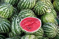 Семена арбуза Талисман F1 (1000с), фото 1