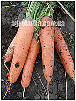 Семена моркови Тема F1 (250000шт) Libra Seeds (Erste Zaden), фото 1