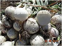 Семена лука Примо Бланко F1 (250000семян) Libra Seeds (Erste Zaden)