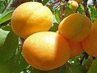 Шалах, Shalah ДВУХЛЕТНИЕ саженцы абрикоса раннего срока созревания на подвое абрикос