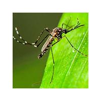 Как выглядит аллергия на укусы комаров?