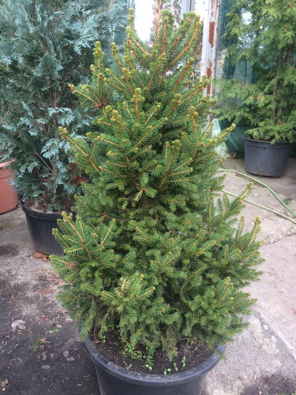 Ель сербская Карел (Picea omorika Karel) 120-140 см