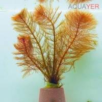 Перистолистник красный (Myriophyllum tuberculatum) AQUAYER, 4 веточки