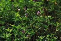 Семена люцерны от 25кг