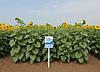 Купить насіння соняшника НС Таурус екстра (Юг Агролідер), фото 4