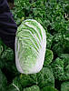 Семена пекинской капусты Конкорд F1 2500 семян Semo