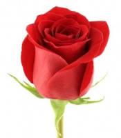 Розы срез