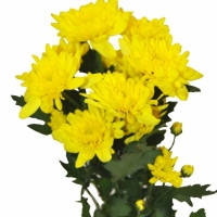 Хризантема кустовая «Зембла» желтая