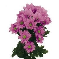 Хризантема кустовая «Гранд» розовая