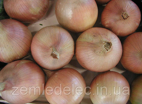 Семена лука репчатого Дагмар 0,5 кг. Semo
