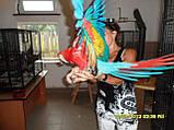 Ара  Макао или Скарлета ( КРАСНЫЙ АРА.) Ручной птенец., фото 2