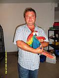 Ара  Макао или Скарлета ( КРАСНЫЙ АРА.) Ручной птенец., фото 5