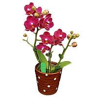 """Подростки орхидеи. Сорт Phal. Little vermilion воск, без цветов, размер 2.5"""""""
