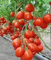 Семена томата Бенито F1 (5 грамм) Бейо
