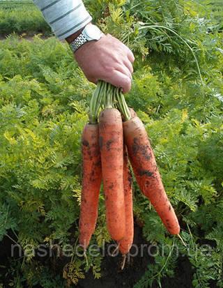 Семена моркови Колосеум F1 150 гр. Semo