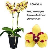"""Подростки орхидеи. Сорт Lenka 6 размер 1.7"""" без цветов"""