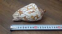 Ракушка морская натуральная 15 см в аквариум